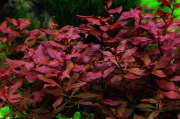 WFW wasserflora Kleine Weinrote Ludwigie/Ludwigia sp. Super Red - Super Rot - 1