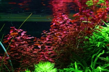 WFW wasserflora Kleine Weinrote Ludwigie/Ludwigia sp. Super Red - Super Rot - 2