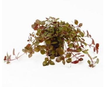 WFW wasserflora Kleine Weinrote Ludwigie/Ludwigia sp. Super Red - Super Rot - 3