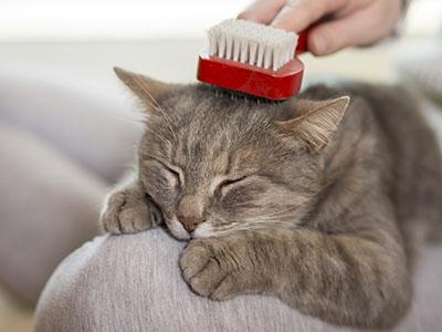 Katzenbuerste