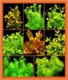 Zoomeister - Anti-Algen-Set - 40 Schnellwachsende Pflanzen + Lotus - 1