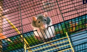 Rattenkäfig