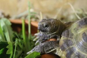 Kräuter als Schildkrötenfutter