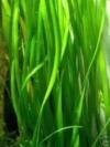 10 Bunde Vallisnerien, Vallisneria, Aquariumpflanze - 1
