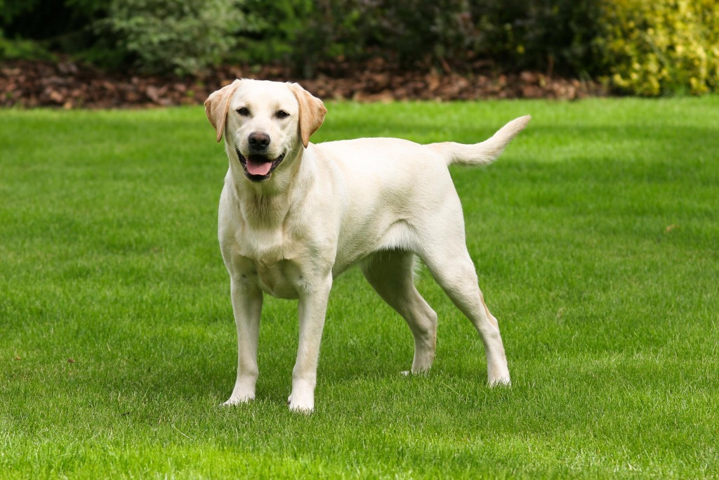 Creme-farbener Labrador Retriever. © 123RF, capturelight
