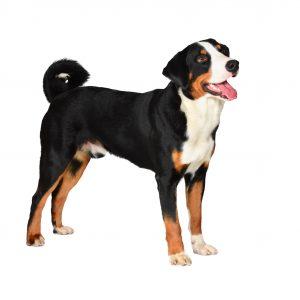 Appenzeller Sennenhund Haustierratgeber De