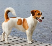 Jack Russell Terrier und Parson Russell Terrier