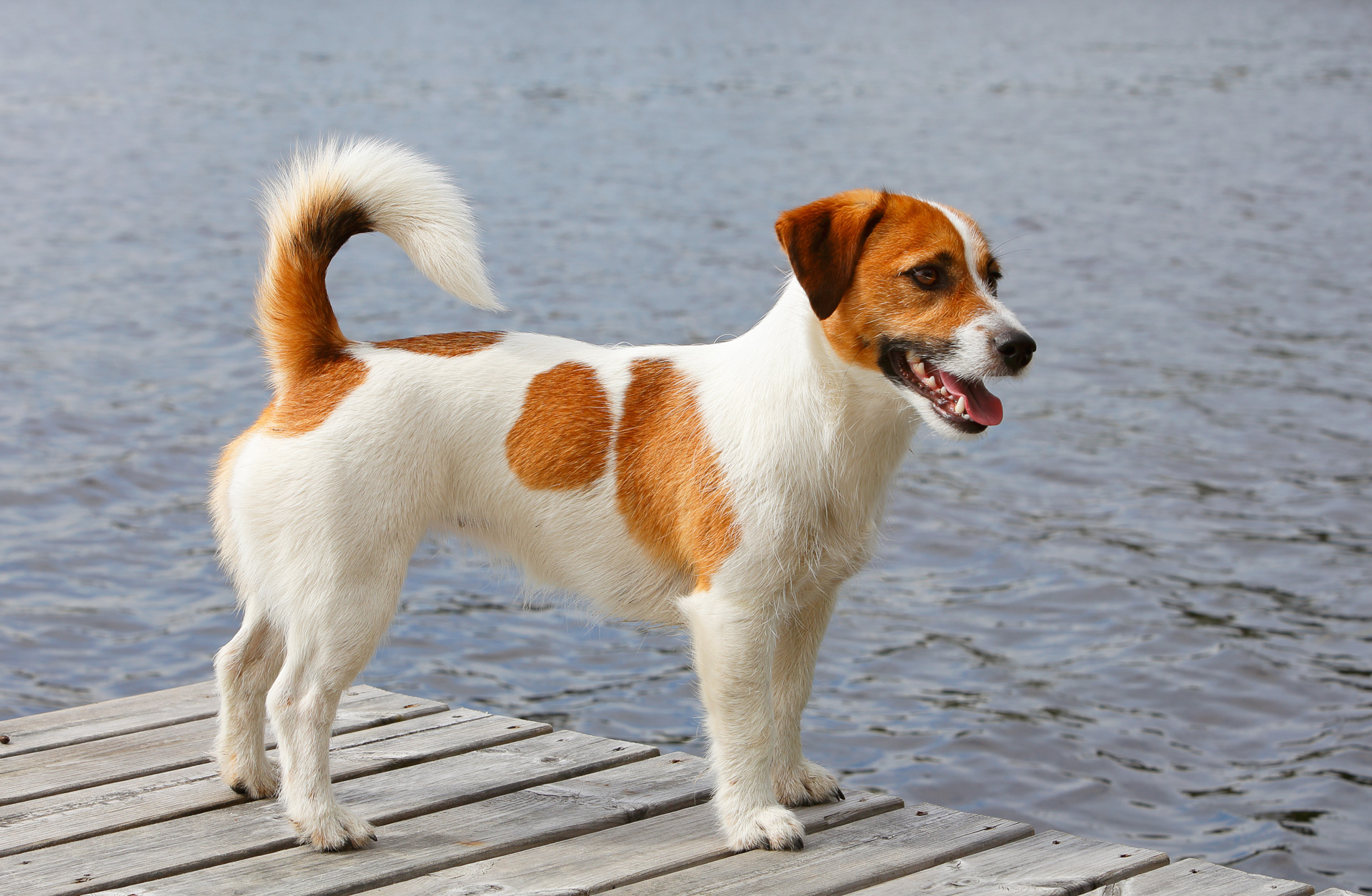 jack russell terrier und parson russell terrier haustierratgeber. Black Bedroom Furniture Sets. Home Design Ideas