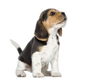 Beagle Welpe / © Eric Isselee, 123RF
