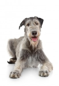 Irish Wolfhound / ©123RF fotojagodka