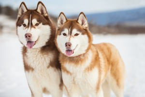 Zwei Huskys / © kazakphoto