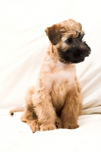 Soft Coated Wheaten Terrier Welpe / © 123RF / Denis Babenko