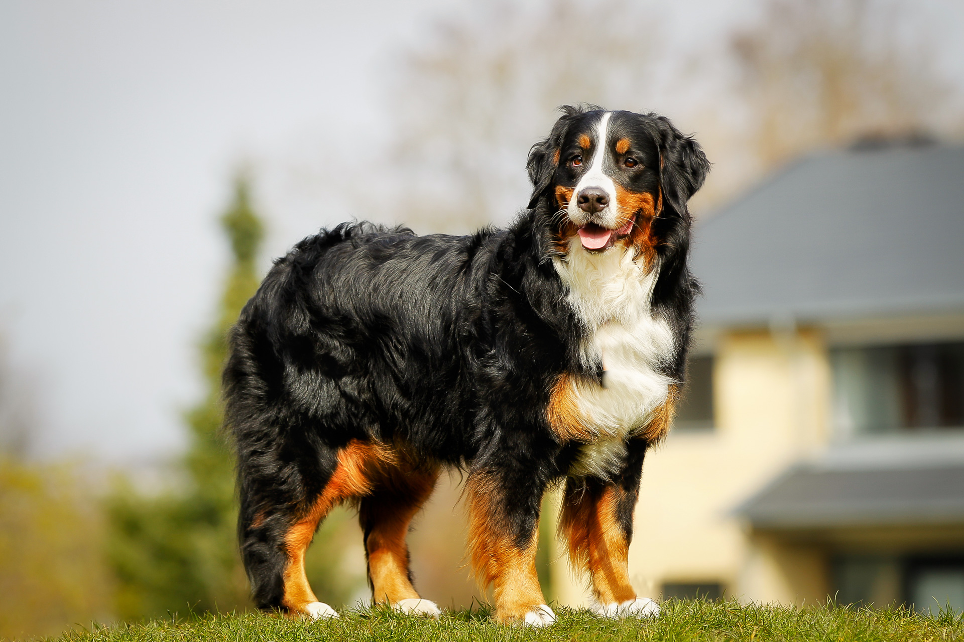 St Bernese Mountain Dog Rescue