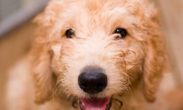 Designerhunde: Die neuen Hunderassen!