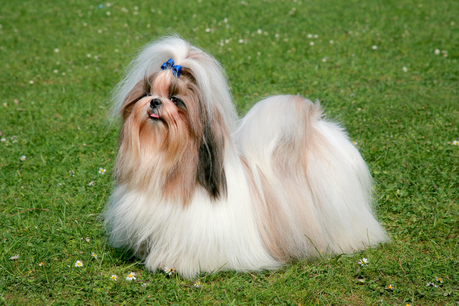 What Does A Lhasa Apso Dog Look Like