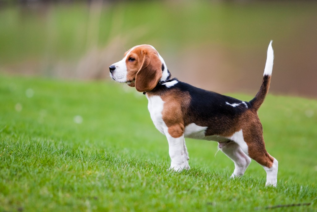 Beagle on lawn