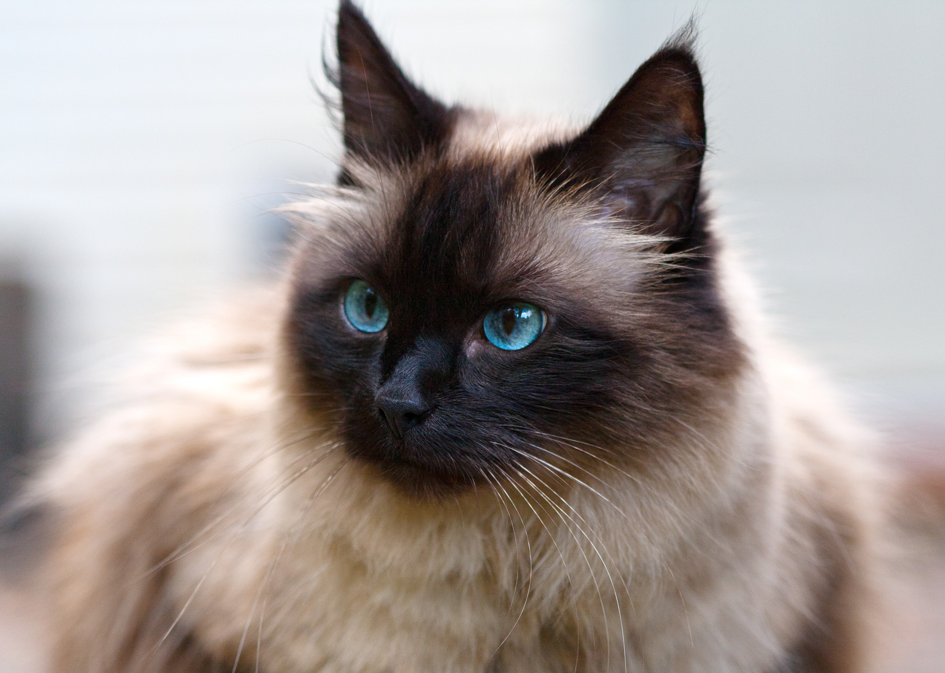 Ragdoll Cat Breed Images