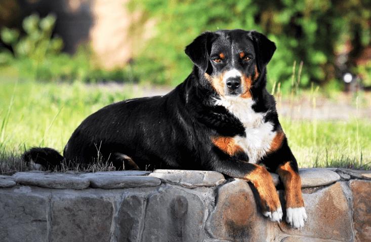 Großer schweizer sennenhund lebenserwartung