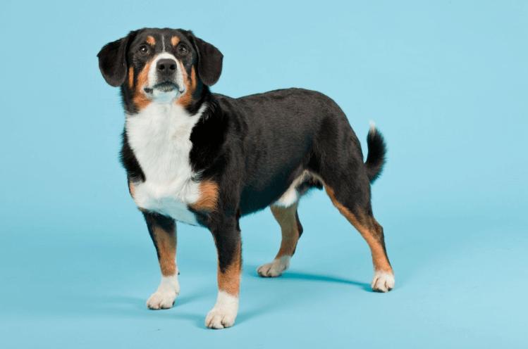 Entlebucher Sennenhund Haustierratgeber De