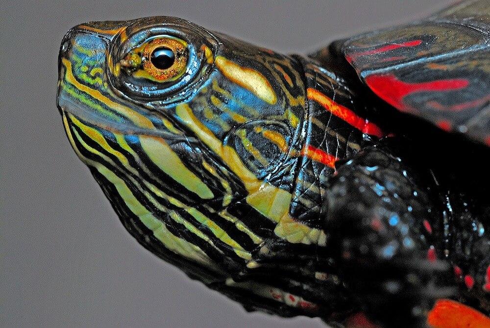 Gelbwangenschildkröte