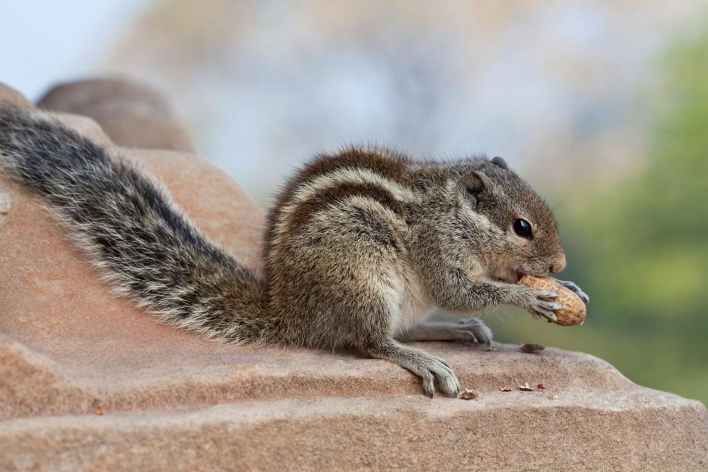 Streiefenhörnchen
