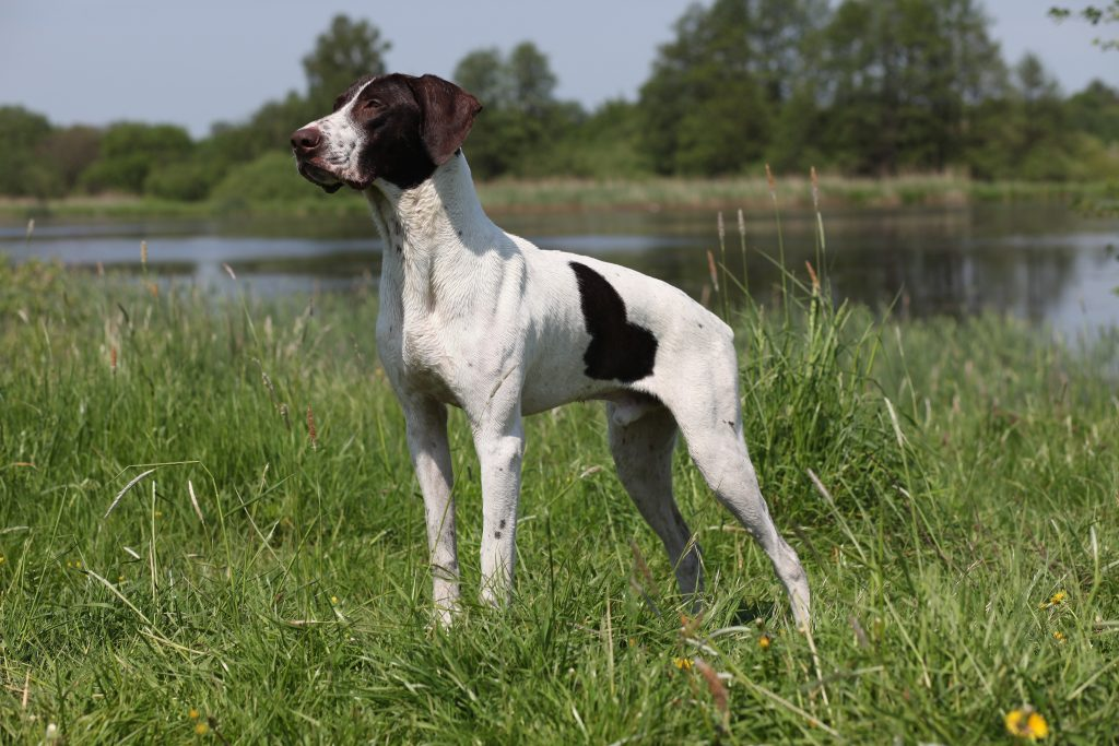 13793863 - german shorthaired pointer summer portrait on the lake