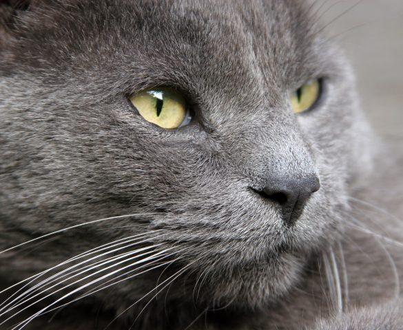 Hautkrankheiten bei Katzen - Haarausfall bei Katzen