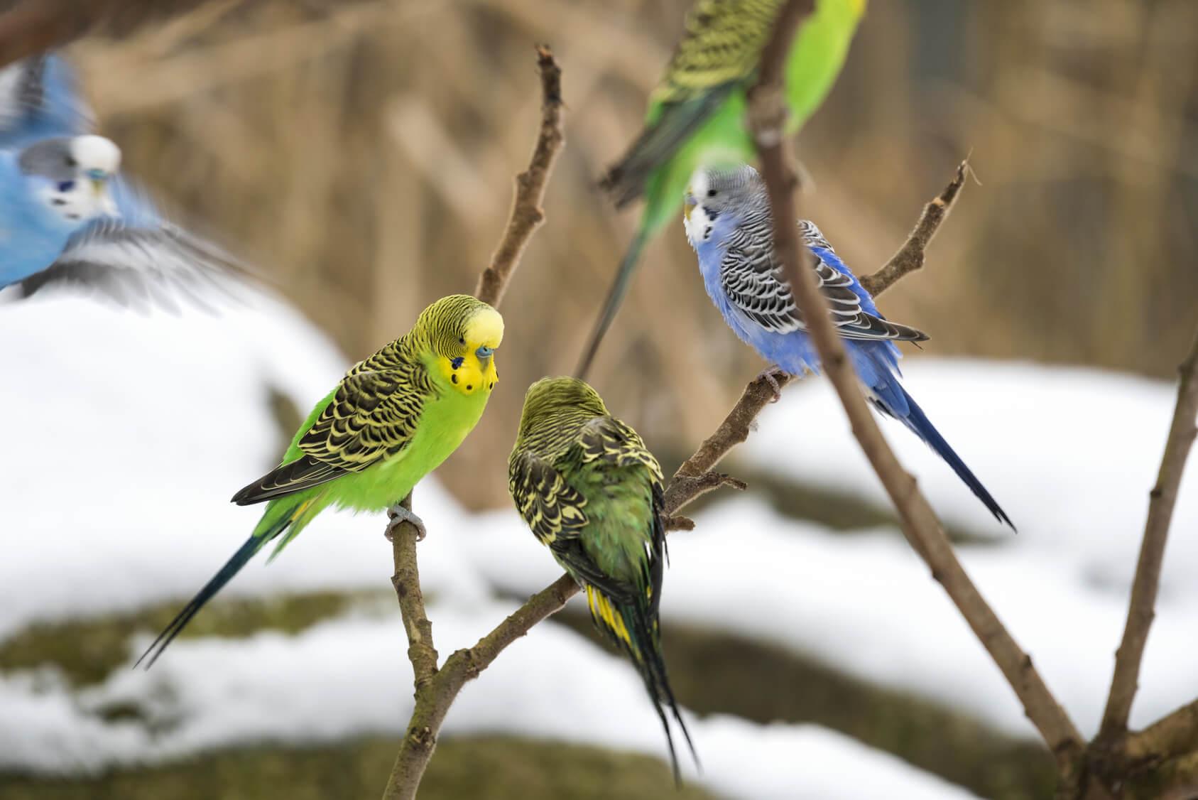 Vogelhaltung: Ist Überwintern im Freien möglich?