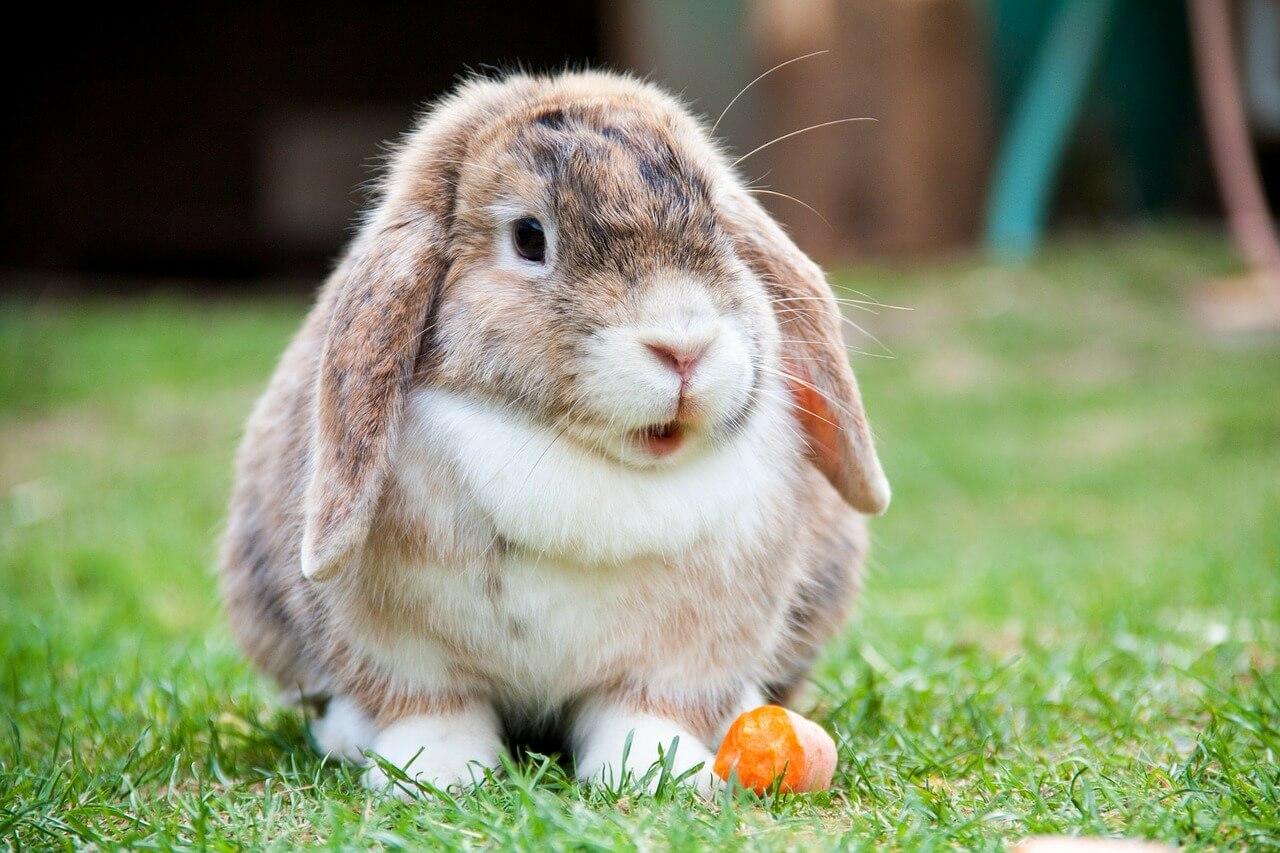 Kaninchen als Haustier – was man wissen sollte