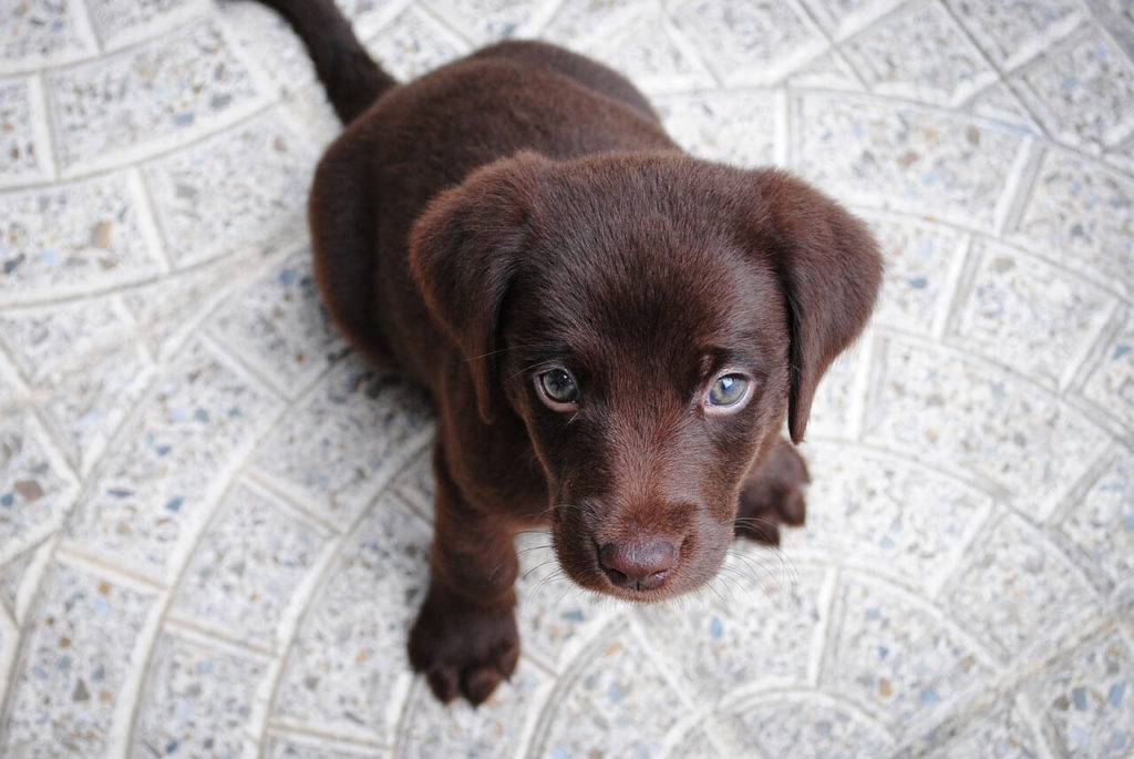 Labradorwelpe