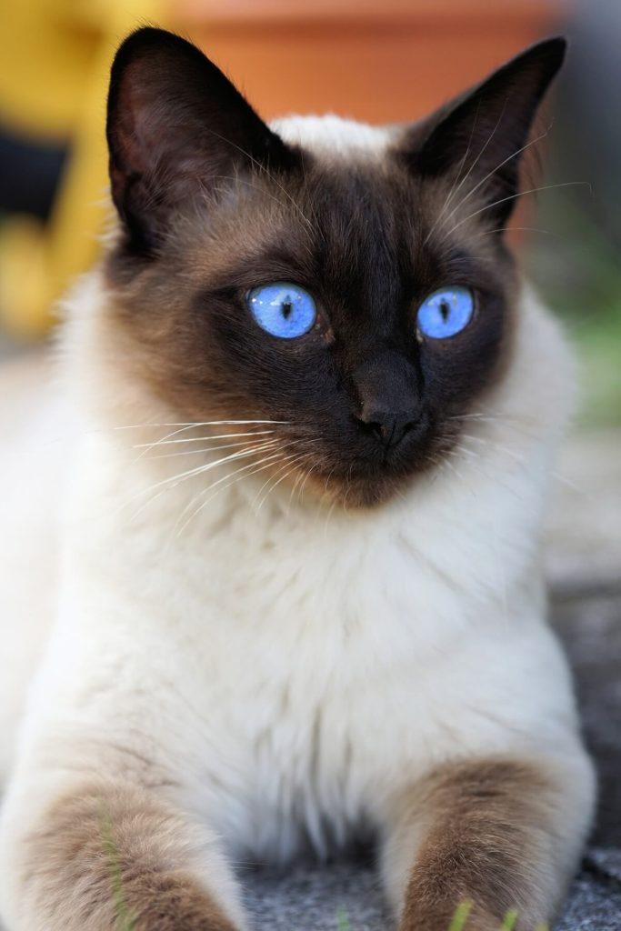 Die Siamkatze zeichnet sich durch ihre strahlend blauen Augen aus.