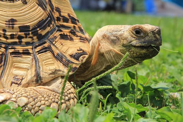 Landschildkröten eignen sich gut für Anfänger