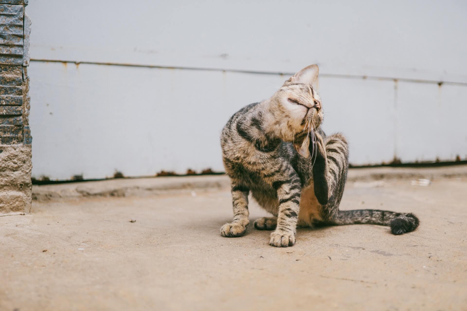 Flöhe bei Haustieren