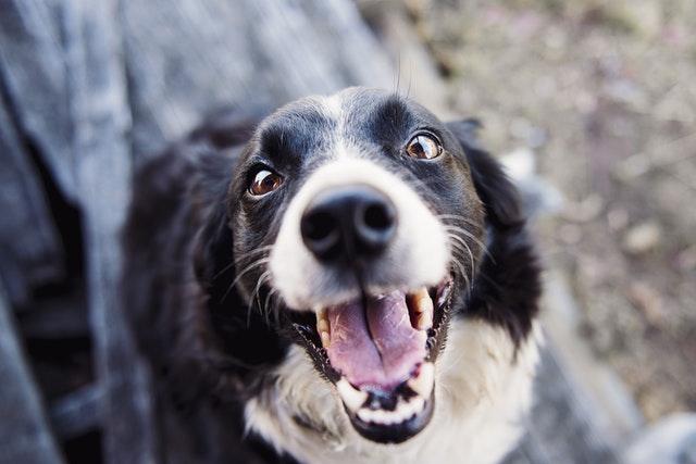 Ein Hundebellen ist meist ein Schrei nach Aufmerksamkeit.