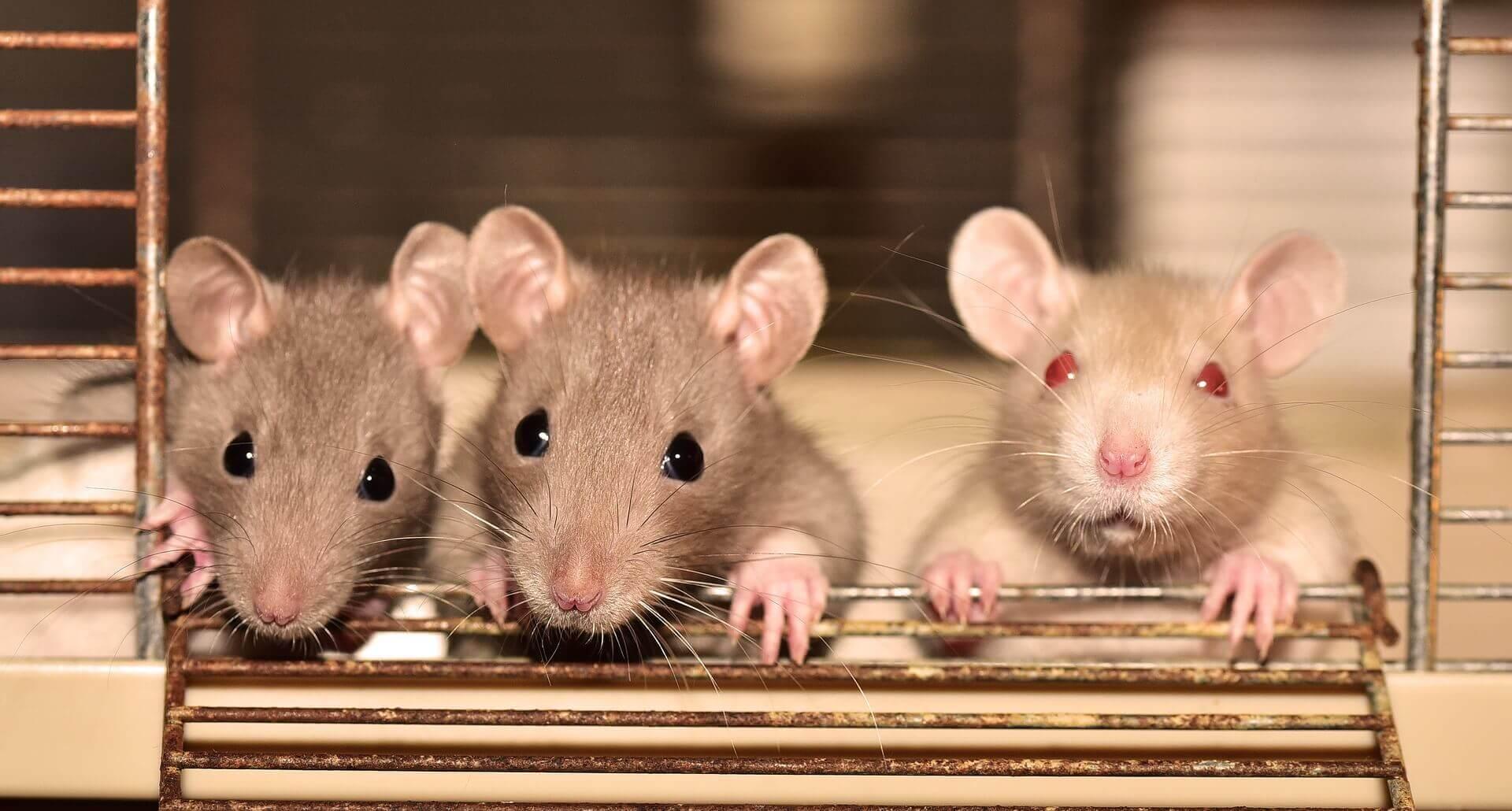 Eine Ratte als Haustier ist nicht sehr kompliziert!