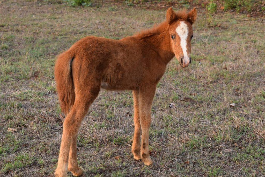 American Miniatur Horse