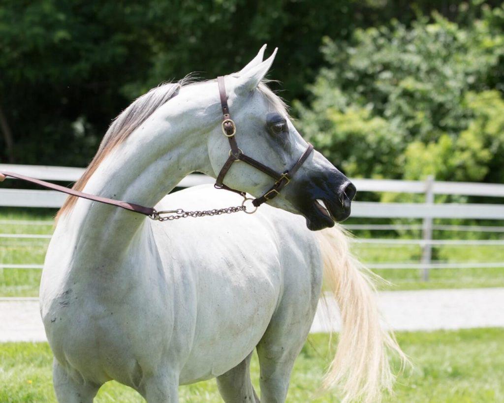 Criollo Pony