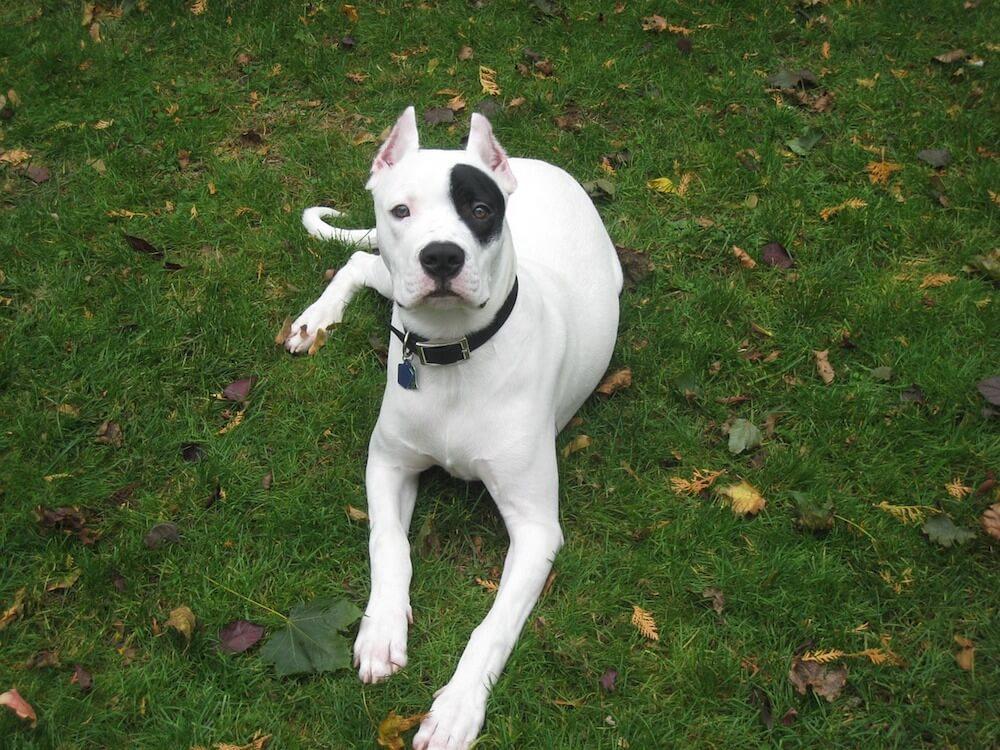 Dogo Argentino Anspruchsvoller Aber Familienfreundlicher Hund