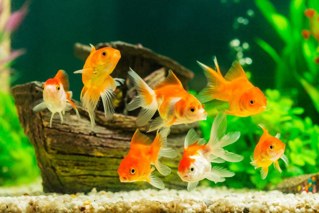 Goldfisch Aquarium