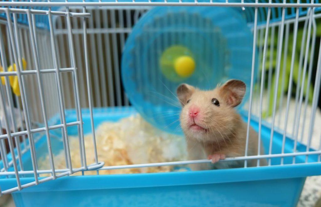 Hamster kaufen