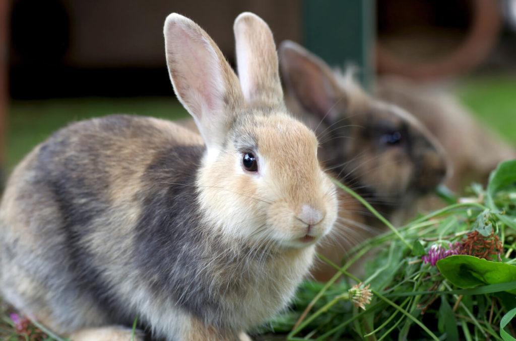 Kaninchenschnupfen