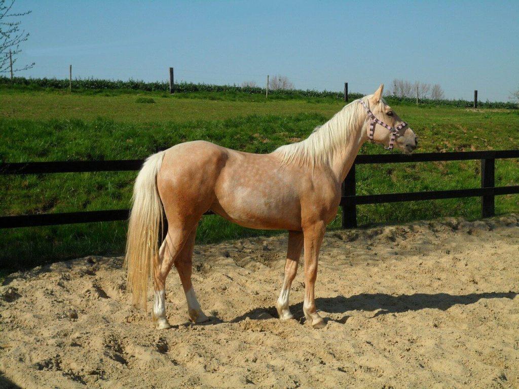 Pinto Pferd