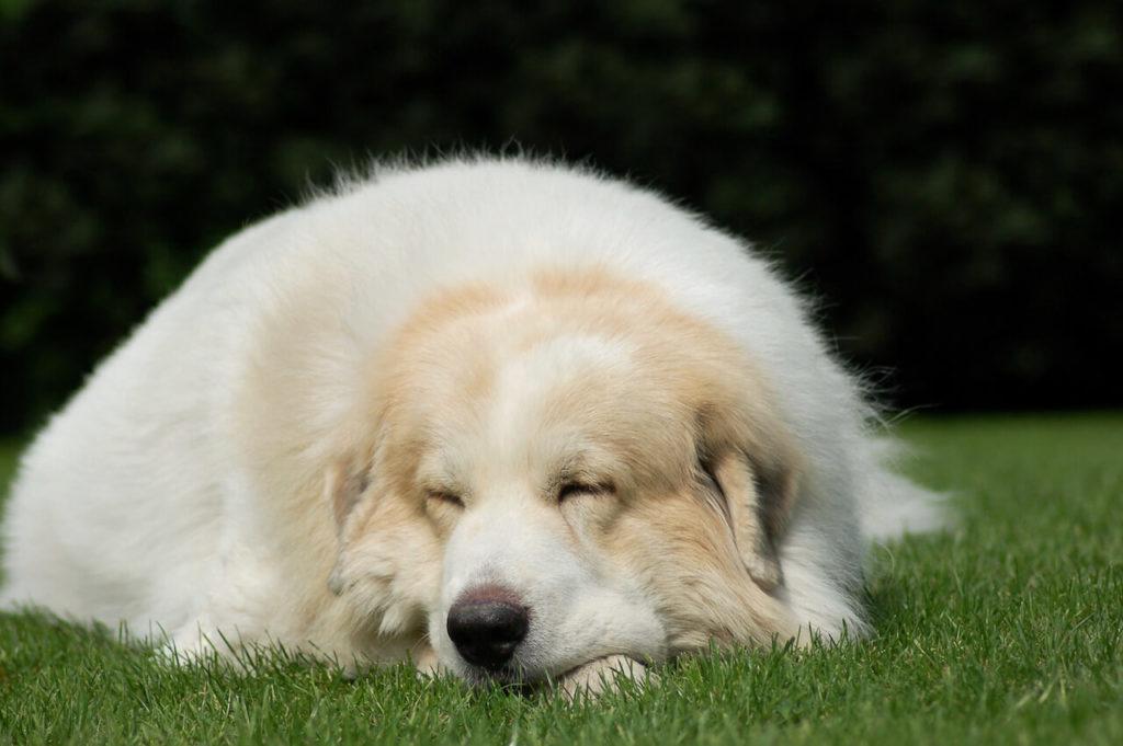 Pyrenäen Schäferhund