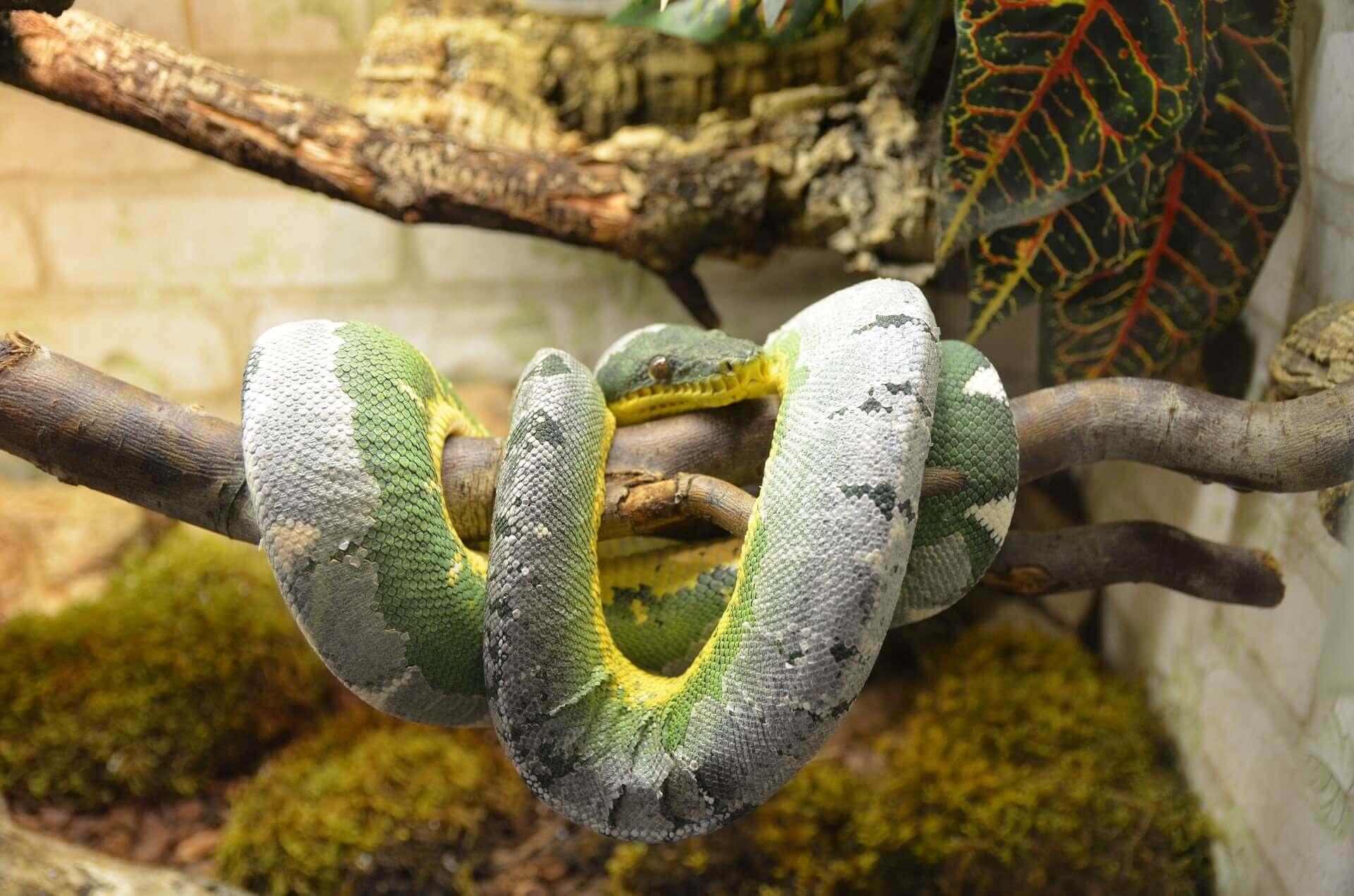 Schlangenbesitzer